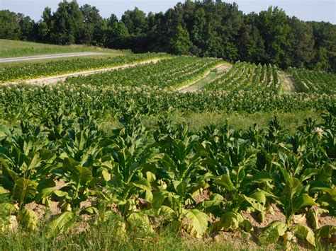 harvesting plantations in tarkeeth state tobacco and staple agriculture