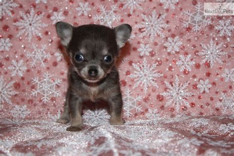 chihuahua puppies for sale in arkansas chihuahua puppy for sale near rock arkansas 329f50d8 d531
