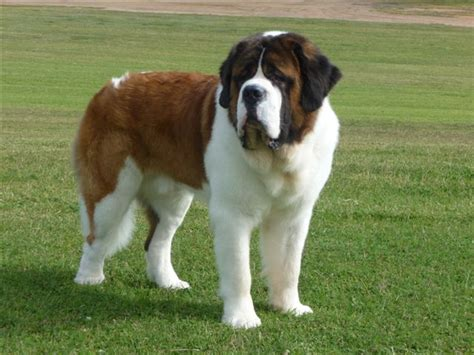 Saint Bernard History, Personality, Appearance, Health and
