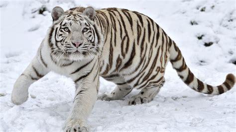 imagenes wallpapers hd animales tigre blanco hd 1600x900 imagenes wallpapers gratis