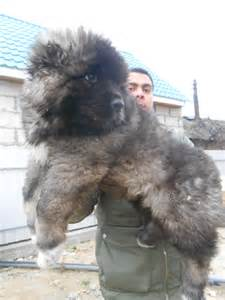 Caucasian mountain shepherd puppies images amp pictures becuo