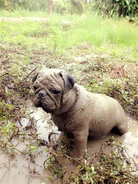 buffalo pugs buffalo pug pug and mud