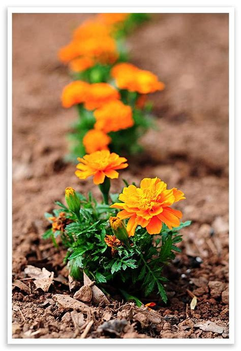 Tips For Growing Marigolds Gardens Vegetables And Hats Marigolds In Vegetable Garden