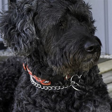 water breeds dogs for sale puppies for sale from local breeders upcomingcarshq