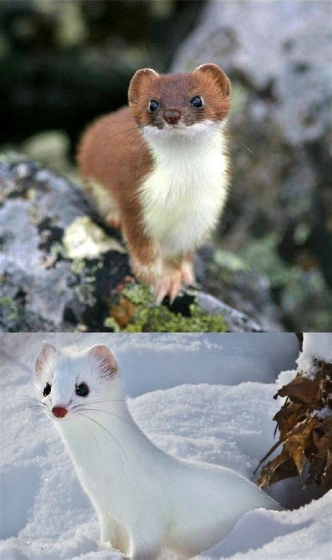 ermine color 28 images how can you tell the difference