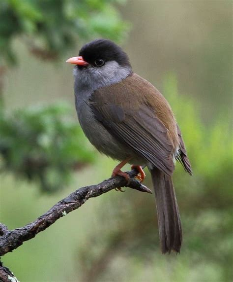 file bush blackcap 2016 12 30 15 33 23 2771 crop jpg