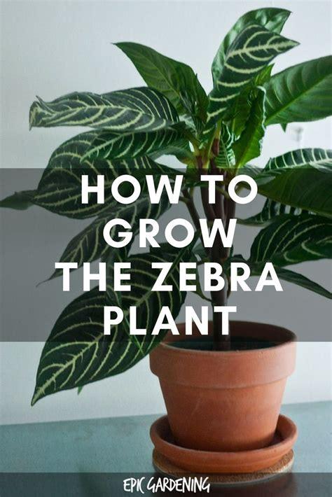 zebra plant care growing aphelandra squarrosa  home