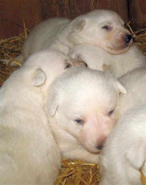 white german shepherd puppies price german shepherd alsatian price in india german shepherd and car photos