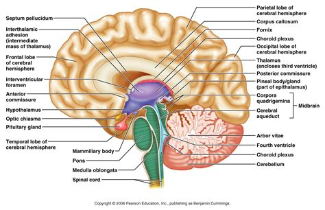 midsagittal section of brain midsagittal section of the human brain anatomy body list