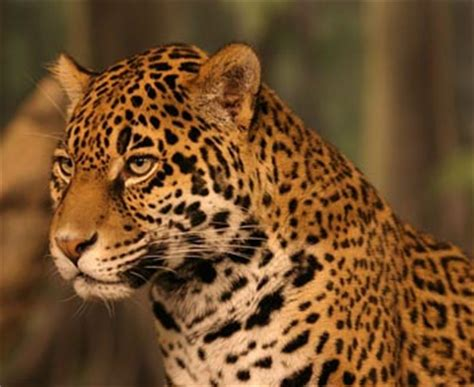 all about jaguars jaguar the animal files