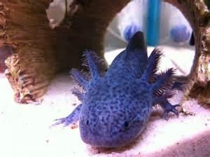axolotl colors fyi new tank divider 2 axolotls in 1 tank caudata org
