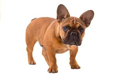 bulldog francese alimentazione alimentazione bulldog francese orijen opinioni