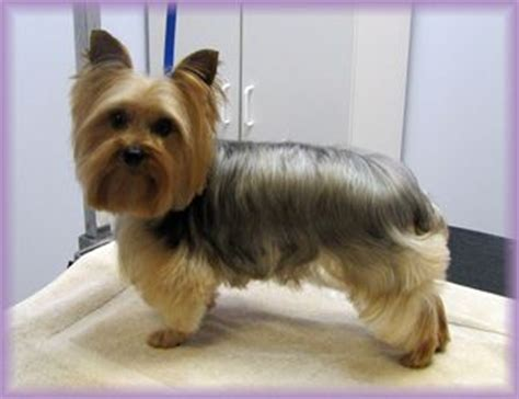 yorkie hair style options maybe just shorter under the chin bone s hair style
