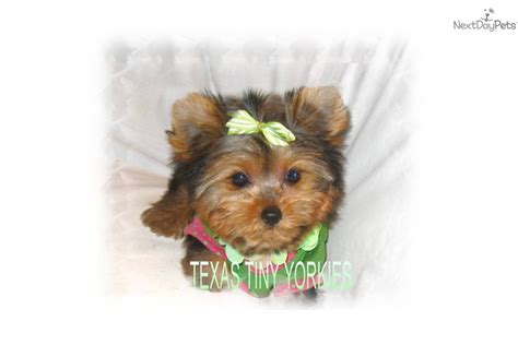 yorkie puppies for sale in nebraska teacup yorkie puppies for sale nebraska terrier breeders breeds picture