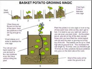 how to grow potatoes in a container 101 ways to survive