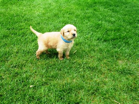 field bred golden retriever puppies akc field bred started golden retriever puppy golden retrievers in breeds picture