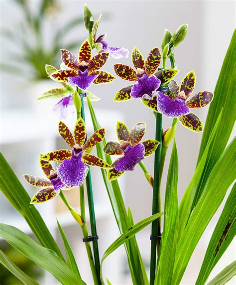 Kitchen Collection Store buy house plants now zygopetalum orchid