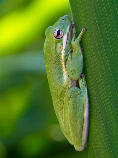 green tree frog facts