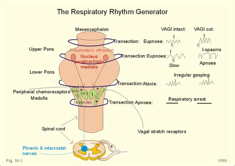 pattern generator physiology new human physiology ch 16