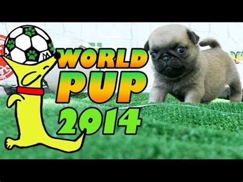 pug world world pup pug puppies vs bichon frise