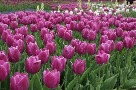 Bibit Bunga Tulip arti dan makna bunga tulip berdasarkan warna bibitbunga