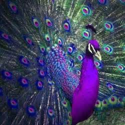 peacock colors beautiful colors pinned 3 26 2015 peacocks