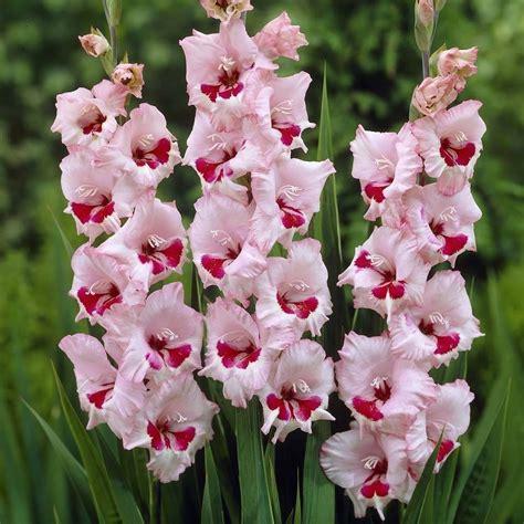gladioli fiori gladioli bulbi
