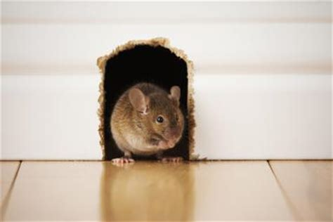 Mouse In The House by Is There A Mouse In The House Chiltons Pest