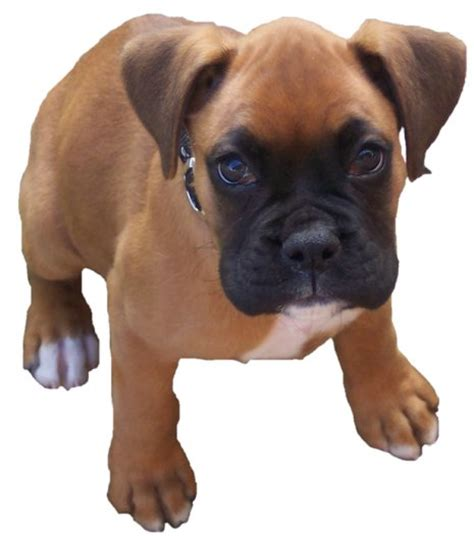 boxer puppie boxer puppy picture