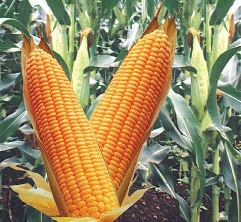 caratteristiche alimenti mais alimenti mais alimentazione caratteristiche