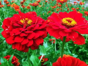 zinnia red beauty   southern exposure seed exchange