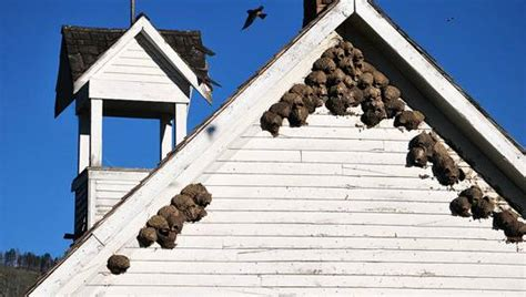 mud nest on side of house 17 bizarre and beautiful bird nests mnn mother nature network