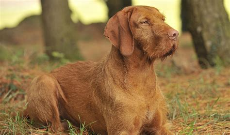 wirehaired vizsla puppies wirehaired vizsla breed information