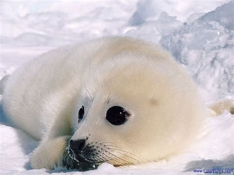baby seal cub sons photo gallery