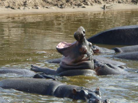 hippo pool serengeti 11 flickr photo sharing