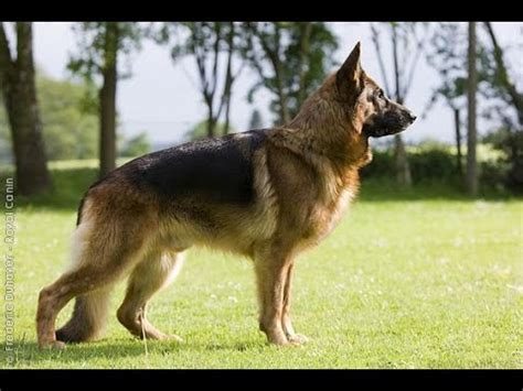 where to buy le berger le berger allemand ce chien rac 233 et harmonieux youtube