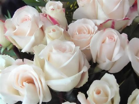 imagenes de rosas blancas bonitas imagenes rosas blancas imagui
