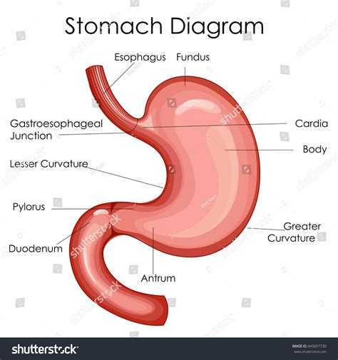 diagram of stomach education chart biology stomach diagram stock