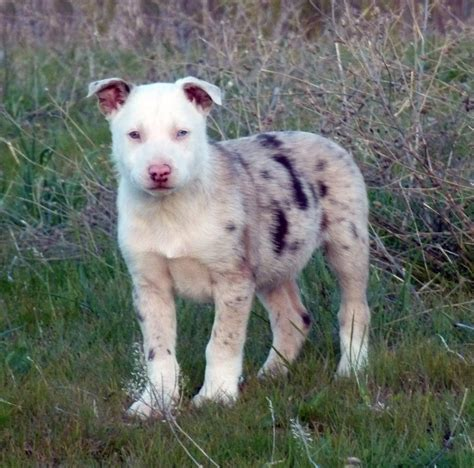 hanging tree dogs hanging tree cow dogs for sale in tennessee