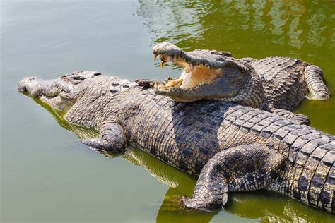 krokodil images crocodiles facts pictures