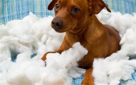 cushing s disease in dogs canna pet