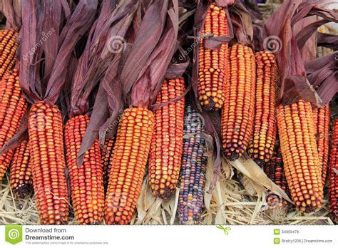 colors of corn gorgeous color of indian corn royalty free stock images