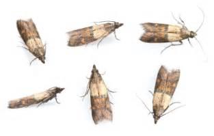 get rid of pantry moths pest seva call