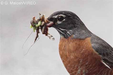 what do american robin bird eat american robin m55 3 097 jpg