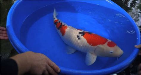 this is what a 60 000 koi fish looks like