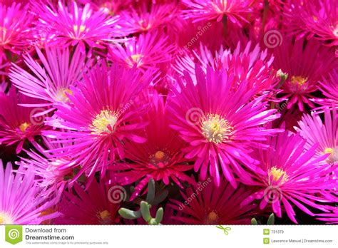 bright colored flowers bright colored flowers royalty free stock images image