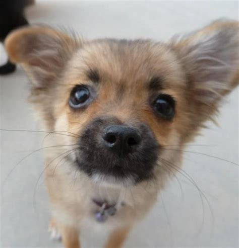 chiwawa pomeranian chihuahua pomeranian mix www imgkid the image kid has it