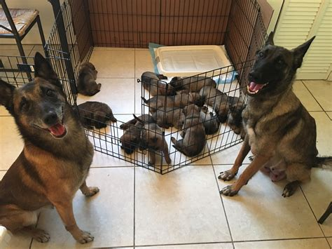 puppies for sale usa puppies malinois for sale malinois usa