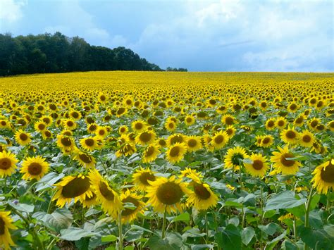sunflower field 301 moved permanently