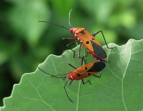 bed bugs mating treknature red cotton bug mating photo